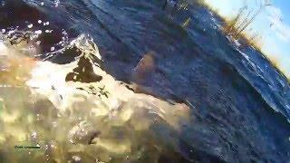Подводная охота. Щука 7,5 + амур 16 кг.