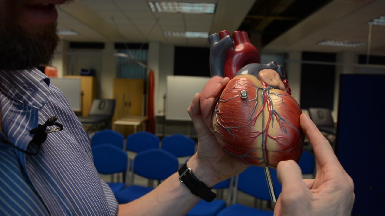 Coronary arteries & cardiac veins - YouTube