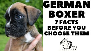 Before you buy a dog  GERMAN BOXER  7 facts to consider!  DogCastTV!