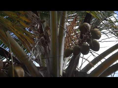 Как растут кокосы на Мальдивских пальмах?