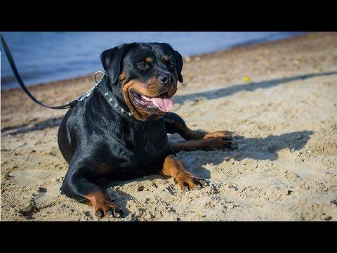 Happy Rottweiler girl enjoys summertime on the beach in nylon dog collar