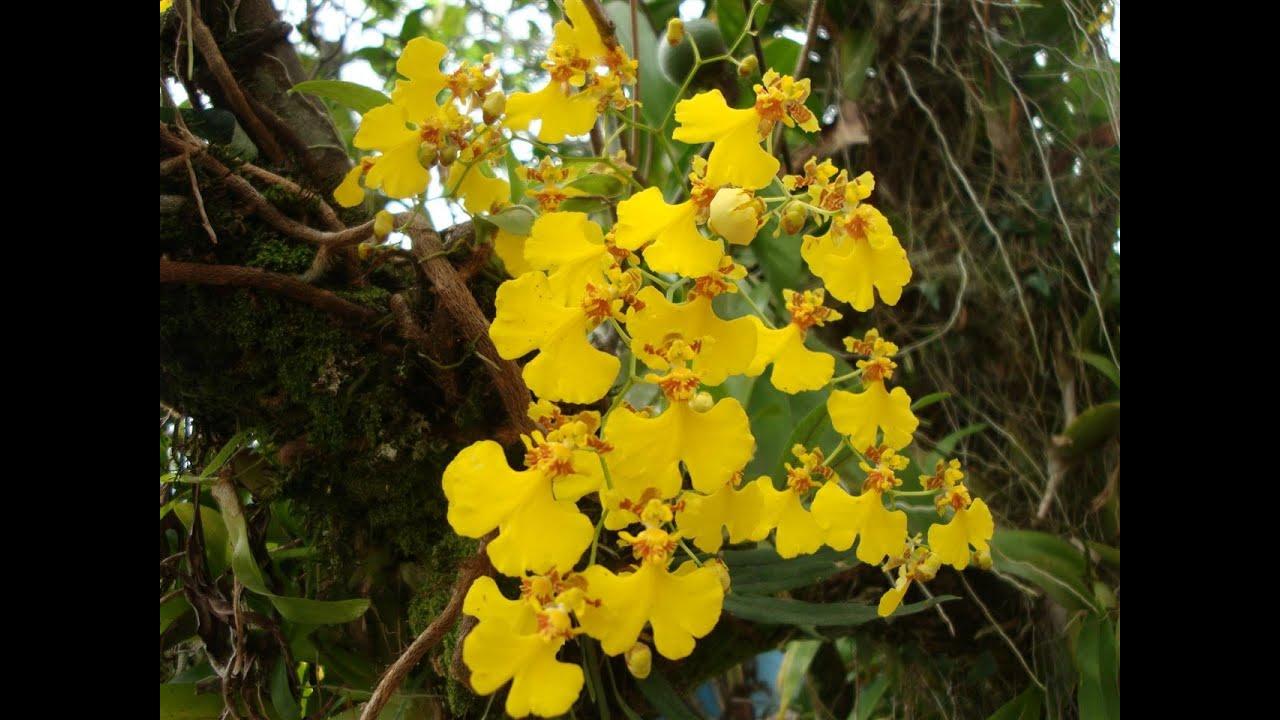Resultado de imagem para orquídea chuva de ouro