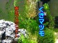 アクアリウム【水草】くきマツモ再生プロジェクト