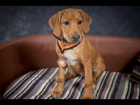 Macy - Rhodesian Ridgeback Puppy - 2 Weeks Residential Dog Training
