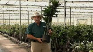 Dracaena Cane Set Care Instructions.avi