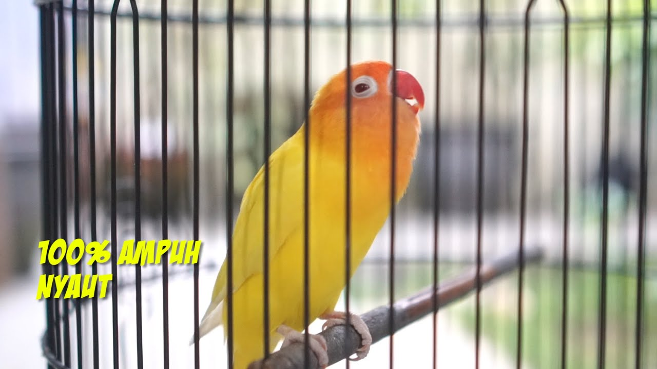 Terapi Pancingan Lovebird Ngetik Ngekek panjang Ampuh dan Jitu