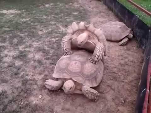 Orgasmic Turtle