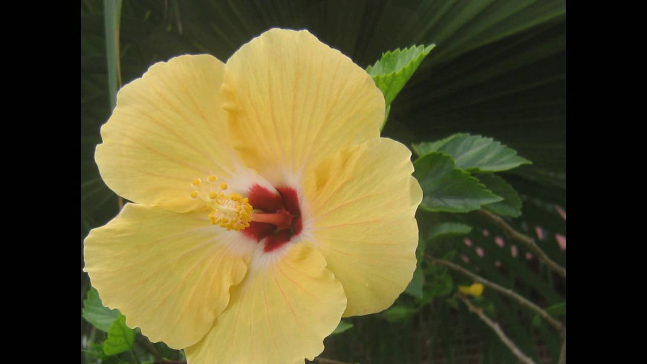 Flower Yellow Flower Hibiscus Youtube
