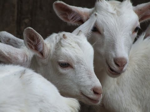 Breeding Cash With Dairy Goats