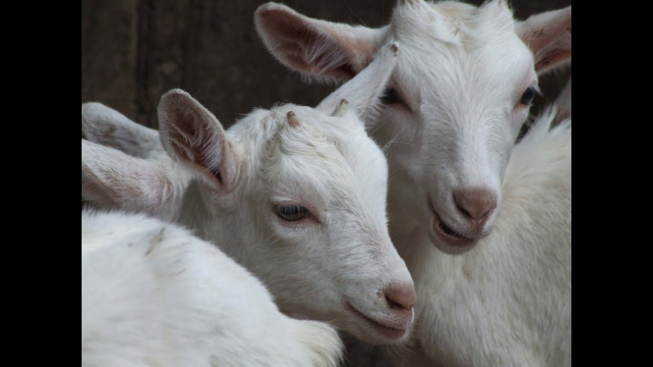 BREEDING CASH WITH DAIRY GOATS - YouTube