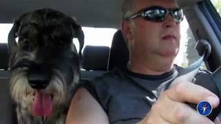 жизнь одной замечательной собаки, миттельшнауцер Арчи 6