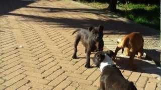 Staffordshire Bull Terrier Cuccioli