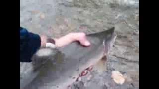 видео: Горбуша сама прыгает в руки!