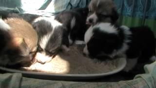 Lollis X Texa Puppy's, Pembroke, Welsh Corgi, Gaucho,