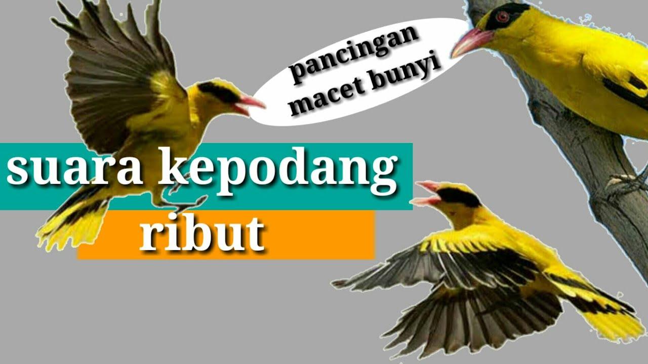 suara pikat burung kepodang ampuh langsung dapat banyak