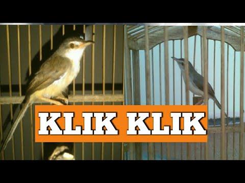 Burung klik klik | Ciblek sawah Gacor