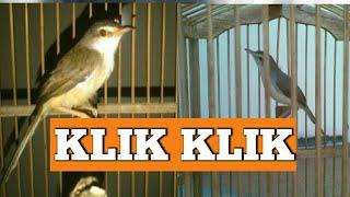 Gambar cover Burung klik klik   Ciblek sawah Gacor