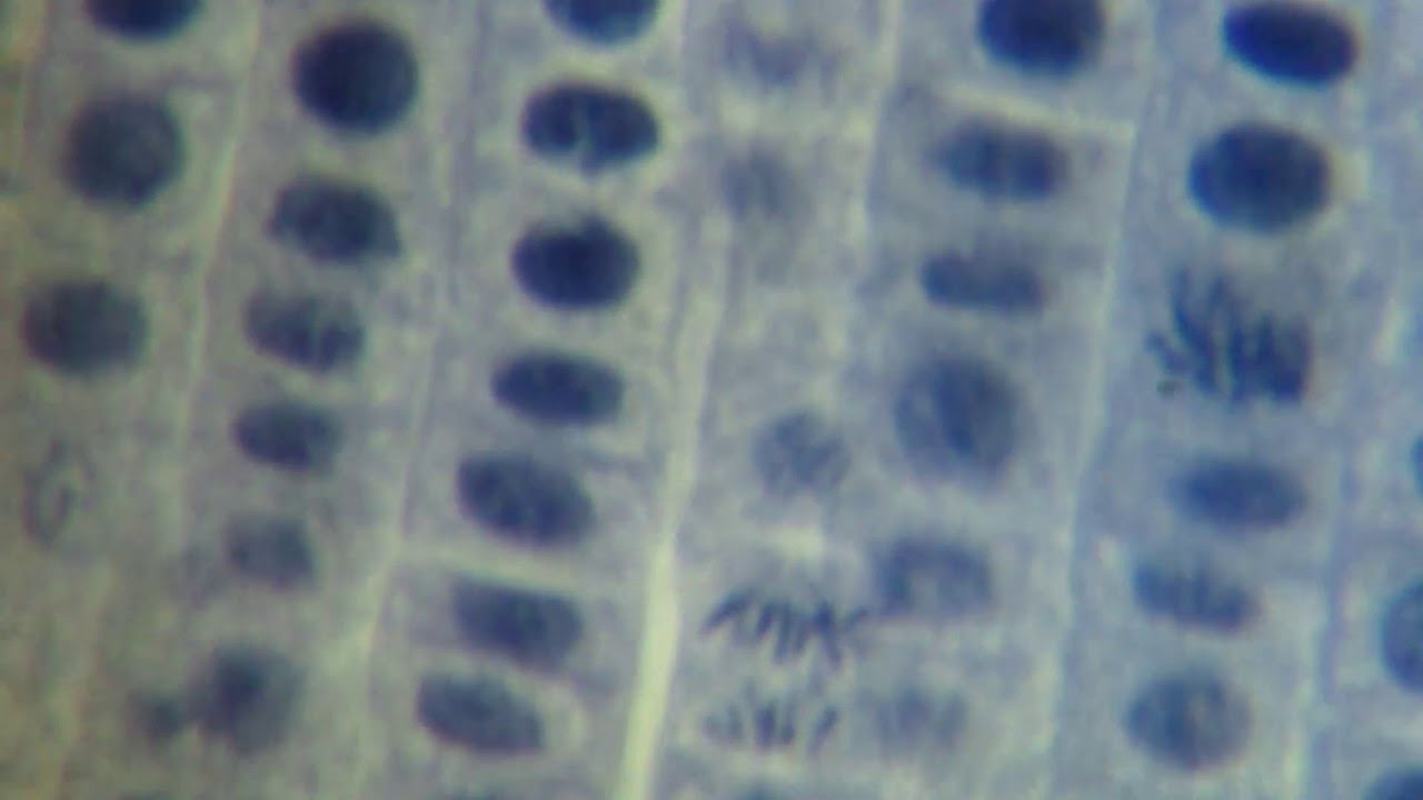 mitosis in onion root tip cells Stages of mitosis lab report - free download as word doc (doc / docx), pdf file (pdf)  mitosis in onion root tip cells mitosis report.