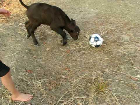 Cape Buffalo playing football
