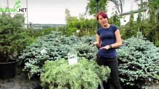 видео Можжевельник виргинский Grey Owl