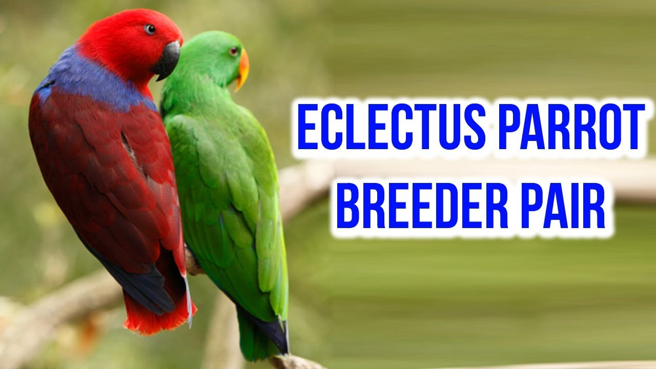 Exotic Birds For Sale >> Eclectus Parrot Breeder Pair For Sale Eclectus Parrot Breeding
