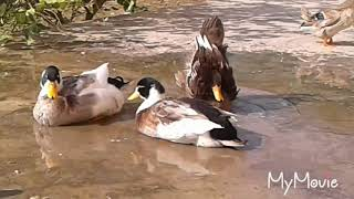Duck cleaning herself and mating with 3 male ducks