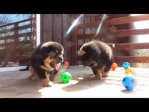 Puppies Of The Tibetan Mastiff/ Two Months/