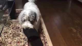 スリッパで遊ぶ愛犬シュガー 生後8ケ月になりました.