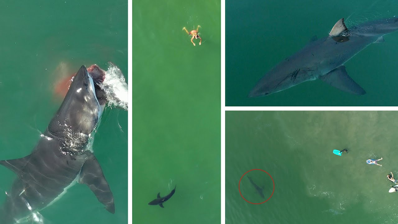 Download Best Great White Shark Drone Footage of 2020 (Narrated)