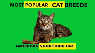 AMERICAN SHORTHAIR CAT Most Popular Cat Breed