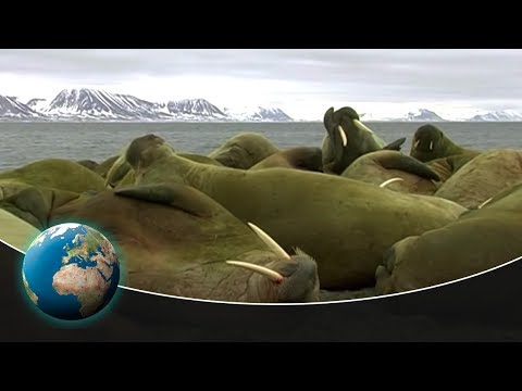 Walruses - Unexpectedly