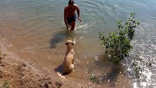 Nova - 6 months old puppy has her first swimming lesson thumbnail