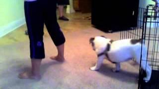 Meatball, My 16-weeks Old English Bulldog Puppy + Tricks