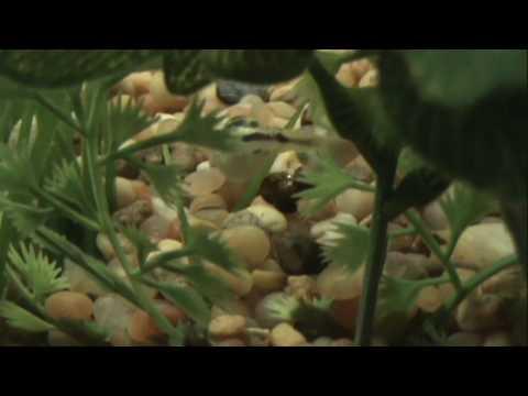 Pea Dwarf Puffer Movie In HD, Hunting And Feeding, Carinotetraodon Travancoricus