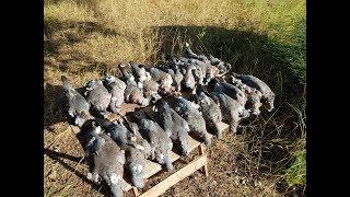 Охота на голубя с чучелами, август, наваляли норм, суп с вяхиря...pigeon hunting