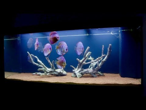 Discus Fish Tank After Big Water Change | Juwel Rio 400