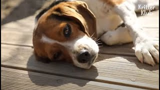 Sad Reason Why Beagle Dogs Are Chosen To Be Used In Lab Testings Is (Part 1) | Kritter Klub