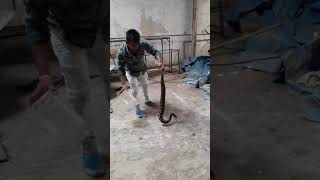 Indian most venomous snake Russal wiper  catching  to umbergaon gidc