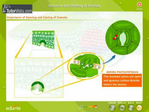 Structure And Working Of Stomata