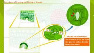 Struktur Und Funktionsweise Von Spaltöffnungen