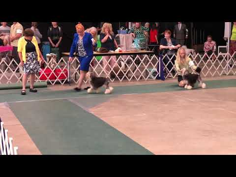 2019-06-23 Löwchen All Breed Judging Henrietta NY WNY Cluster Dog Show Day-3