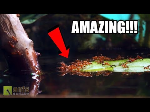 Fire Ants vs. Water