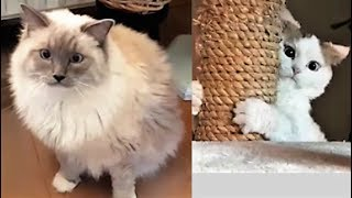 I Thought Ragdoll Cats Were Not Easily Scared (Funny Video with Bowie The Ragdoll Cat & Bella)