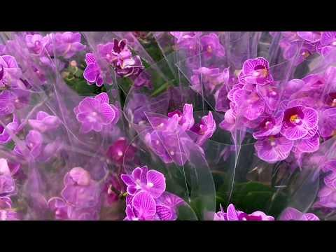 МЕТРОВЫЕ ОРХИДЕИ и БОРОДАТЫЕ корни орхидей / обзор мини биг липы, камбрии, фаленопсисы в Ашан