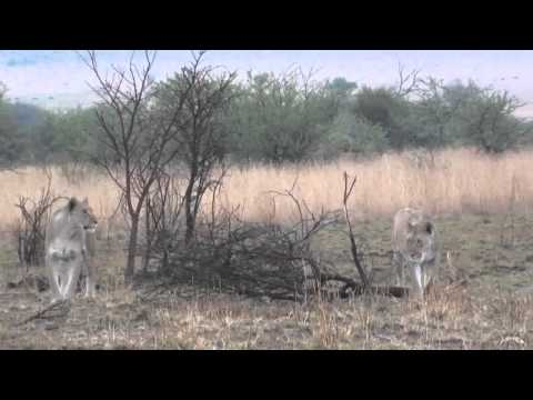 Game Drive at Pilanesberg National Park (extended version)