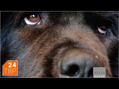 Тибетский мастиф: собака, которая видит человека насквозь | Элита | ТВР24 | Сергиев Посад