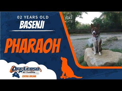 2 Yr. Old Basenji (Pharaoh) | Best Dog Trainers in Central Virginia! | Dog Training Central Virginia