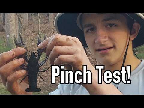 Why Crayfish Are Important To Ecosystems (And Crayfish Pinch!)