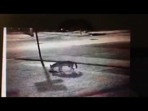Old Metairie residents to meet on coyote attacks