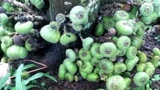Giới thiệu cây vả và quả vả